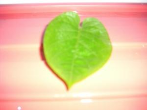 daun kesimbukan